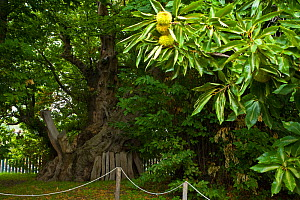 The Hundred Horse Chestnut, an ancient Sweet chestnut (Castanea sativa) believed to be up to 4000 years old, which also has the largest trunk in the world, Sant'Aflio, Sicily, Italy - Juan Carlos Munoz