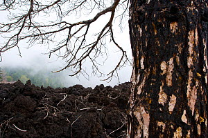 Tree burnt by eruption of Mount Etna, Taormina, Italy, October 2007  -  Juan  Carlos Munoz