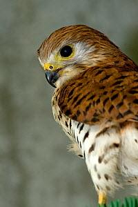 Mauritius kestrel (Falco punctatus) threatened  / endangered species, once the rarest bird in the world, Mauritian Wildlife Foundation breeding centre, Mauritius, Indian Ocean, captive - Mark Carwardine