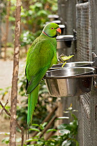 Mauritius / Mascarene / Echo parakeet (Psittacula eques) feeding in cage at feeding bowls, Threatened / endangered species, Mauritian Wildlife Foundation breeding centre, Mauritius, captive - Mark Carwardine