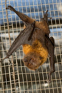 Rodrigues fruit bat / flying fox (Pteropus rodricensis) hanging upside-down in cage, Critically endangered, Mauritian Wildlife Foundation breeding centre, Mauritius, Indian Ocean, captive  -  Mark Carwardine
