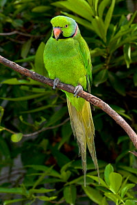 Mauritius / Mascarene / Echo parakeet (Psittacula eques) Threatened / endangered species, Mauritian Wildlife Foundation breeding centre, Mauritius, captive - Mark Carwardine
