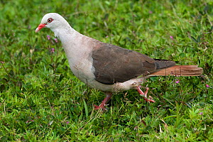 Pink pigeon (Nesoenas / Columba mayeri) threatened / endangered species, Black River Gorges, Mauritius, Indian Ocean, wild - Mark Carwardine