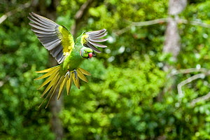 Mauritius / Mascarene / Echo parakeet (Psittacula eques) flying, threatened / endangered species, Black River Gorges, Mauritius, Indian Ocean, wild  -  Mark Carwardine