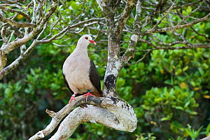 Pink pigeon (Columba / Nesoenas mayeri) threatened / endangered species, Black River Gorges, Mauritius, Indian Ocean, wild - Mark Carwardine