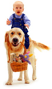 Golden Retriever, Jez, carrying toys in a basket, with a baby girl aged 6 months riding on his back. Model released - Jane Burton