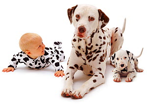 Baby girl aged 6 months, wearing a spotty outfit, and lying down with a male Dalmatian and his young puppy. Model released  -  Jane Burton