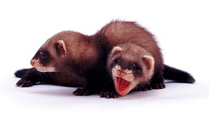 Portrait of two young domestic Polecat-Ferrets (Mustela putorius furo) lying down together, aged 6 weeks.  -  Jane Burton