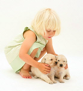 Young blonde haired girl playing with two Golden Retriever puppies. Model released - Jane Burton