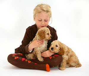 Young blonde haired girl playing with Cockerpoo (Cocker spaniel x Poodle) puppies sitting in her lap. Model released  -  Jane Burton
