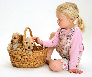 Young blonde haired girl playing with Cockerpoo (Cocker spaniel x Poodle) puppies in a basket. Model released  -  Jane Burton