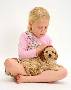 Young blonde haired girl stroking a Cockerpoo (Cocker spaniel x Poodle) puppy. Model released  -  Jane Burton