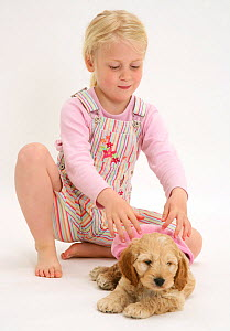 Young blonde haired girl putting a hat on a Cockerpoo (Cocker spaniel x Poodle) puppy. Model released  -  Jane Burton