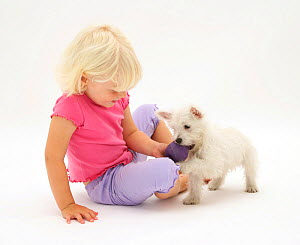 Portrait of young blonde haired girl  playing with West Highland White Terrier puppy. Model released  -  Jane Burton