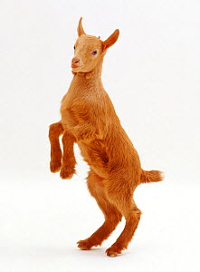Pygmy x Golden Guernsey female goat kid, standing on hind legs.  -  Kim Taylor