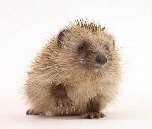 Baby Hedgehog (Erinaceus europaeus) portrait, holding one paw aloft.  -  Mark Taylor