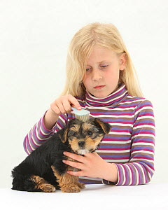 Portrait of young blonde haired girl grooming a Yorkshire Terrier puppy, aged 7 weeks old, with a brush. Model released  -  Mark Taylor