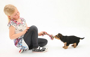 Young blonde haired girl playing with a Yorkshire Terrier puppy, aged 7 weeks old. Model released  -  Mark Taylor