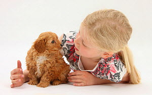 Young girl playing with with Cockerpoo (Cocker spaniel x Poodle) puppy, aged 7 weeks. Model released  -  Mark Taylor