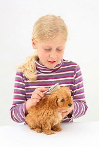 Portrait of young girl with blonde hair, grooming a Cockerpoo (Cocker spaniel x Poodle) puppy, aged 7 weeks, with a brush. Model released  -  Mark Taylor