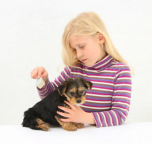 Portrait of young girl with blonde hair, grooming a Yorkshire terrier puppy, aged 7 weeks, with a brush. Model released  -  Mark Taylor