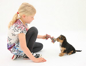 Young girl with blonde hair, playing with a Yorkshire terrier puppy, aged 7 weeks. Model released  -  Mark Taylor