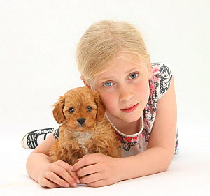 Portrait of a young girl with blonde hair, with a Cockerpoo (Cocker spaniel x Poodle) puppy, aged 7 weeks. Model released  -  Mark Taylor
