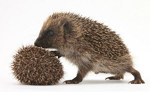 Two young Hedgehogs (Erinaceus europaeus) one standing, one rolled into a ball.  -  Mark Taylor