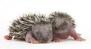 Two baby Hedgehogs (Erinaceus europaeus) portrait, helpless and with eyes shut.  -  Mark Taylor