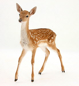 Fallow Deer (Dama dama) portrait of fawn standing, - Mark Taylor
