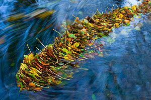 Fallen leaves caught up in flowing river, UK  -  Warwick Sloss