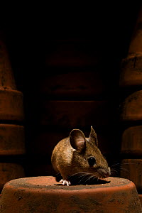 Wood mouse (Apodemus sylvaticus) on flower pot in shed, UK  -  Warwick Sloss