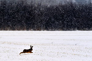 European hare (Lepus europaeus europaeus) running across field in winter, snowing, Lorraine, France, February - Michel  Poinsignon