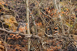 Eagle owl (Bubo bubo) adult perched on branch close to cliff, Luxembourg, February - Michel Poinsignon
