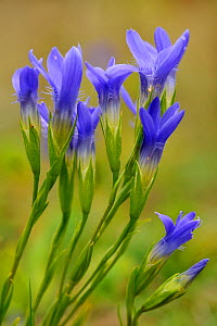 Gentian (Gentianella ciliata) flowers opening from buds, Dudelande, Luxembourg, September - Michel Poinsignon