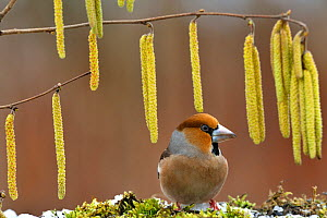 Hawfinch (Coccothraustes coccothraustes) and Hazel catkins, Lorraine, France, February  -  Michel Poinsignon
