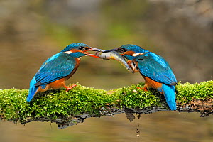 Common kingfisher (Alcedo atthis) male, on left, offering female, on right, a fish in courtship display, Lorraine, France, April  -  Michel Poinsignon