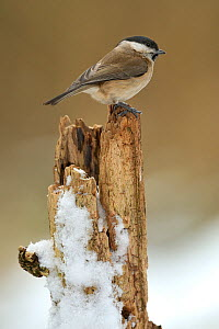 Marsh tit (Poecile palustris) perched on stump in snow, Lorraine, France, January  -  Michel Poinsignon