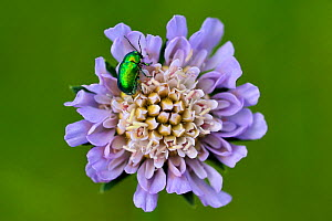 Field scabious flower (Knautia arvensis) with green metallic flower beetle, Lorraine, France, May - Michel Poinsignon