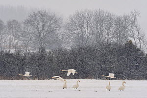 Flock of Mute swans (Cygnus olor) in winter, snowing, Lorraine, France, February - Michel Poinsignon