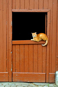 Domestic cat resting on a stable door, Roussy le village, Lorraine, France  -  Michel Poinsignon