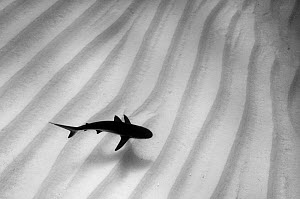 A lone Caribbean reef shark (Carcharhinus perezi) cruises over sand ripples. Walkers Cay, Northern Bahama Islands, Republic of Bahamas.  -  Alex Mustard