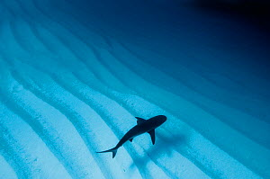 Caribbean reef shark (Carcharhinus perezi) over sand ripples, Walkers Cay, Bahamas. Tropical West Atlantic Ocean. Taken with natural light.  -  Alex Mustard