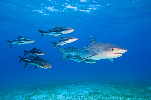 Tiger shark (Galeocerdo cuvier) accompanied by a group of Cobia (Rachycentron canadum). Cobia are large predatory fish, growing to 2m in length. Little Bahama Bank, Bahamas. - Alex Mustard