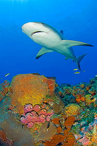 A Caribbean reef shark (Carcharhinus perezi) above corals and sponges on a reef. Grand Bahama, Bahamas.  -  Alex Mustard