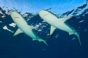 RF- Two Caribbean reef sharks (Carcharhinus perezi) at the surface. Grand Bahama, Bahamas. Tropical West Atlantic Ocean. (This image may be licensed either as rights managed or royalty free.)  -  Alex Mustard