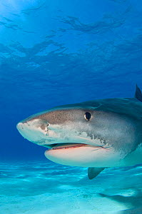 Tiger shark (Galeocerdo cuvier) portrait over white sand. Little Bahama Bank, Bahamas.  -  Alex Mustard