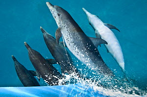 A pod of Atlantic spotted dolphins (Stenella frontalis) riding on the bow wave of a boat. Sandy Ridge, Little Bahama Bank. Bahamas  -  Alex Mustard