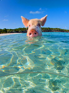 A domestic pig (Sus scrofa domestica) swimming in the sea. Exuma Cays, Bahamas. Tropical West Atlantic Ocean. This family of pigs live on this beach in the Bahamas and enjoy swimming in the sea.  -  Alex Mustard