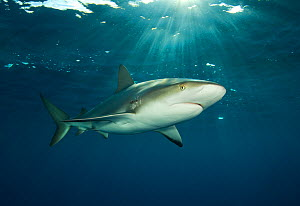 Caribbean reef shark (Carcharhinus perezi) at the surface at dusk. Grand Bahama, Bahamas. - Alex Mustard